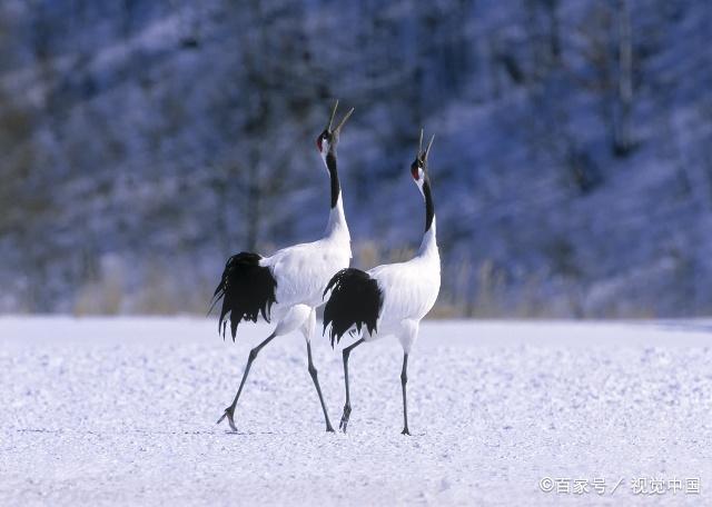 你还记得吗,那首悲情美丽的歌,丹顶鹤的故事