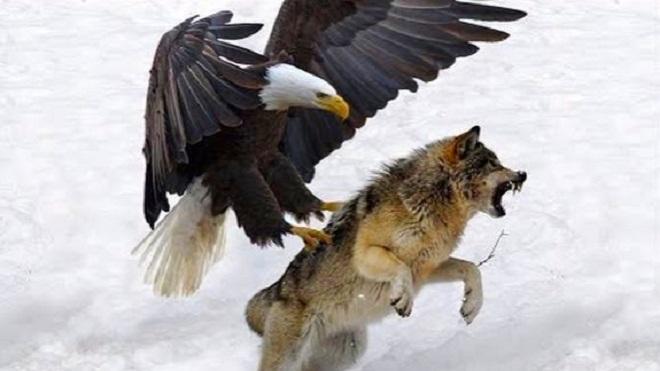 鹰与狼的巅峰对决,鹰狼人谁最厉害